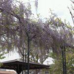 2011/04/26 藤の花